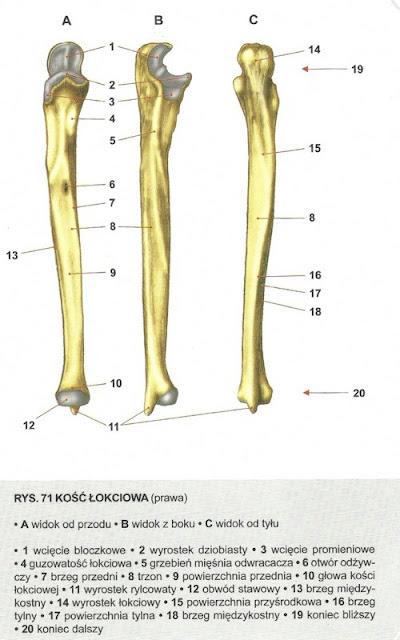kość łokciowa
