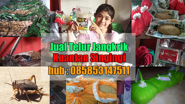 Jual Telur Jangkrik Kuantan Singingi Hubungi 085853147511