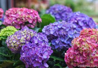Bunga Hydrangea sebagai indikator alami asam basa