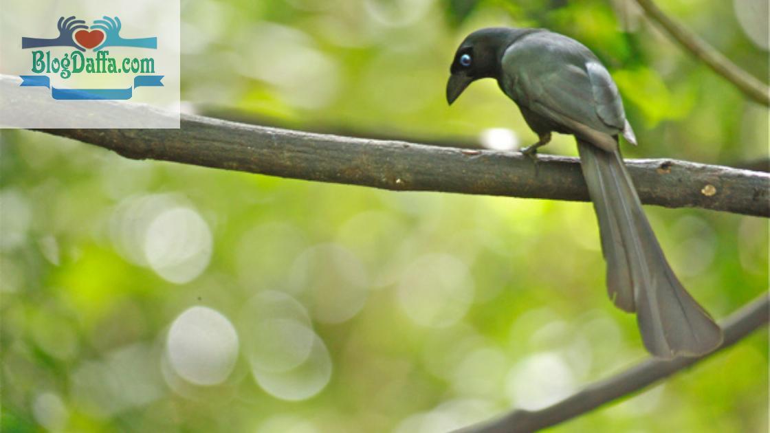 Gambar Burung Tangkar Centrong
