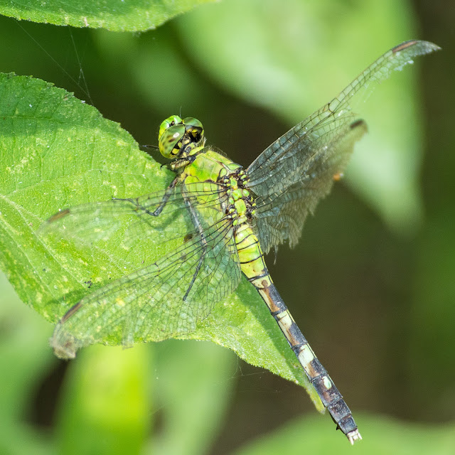 Eastern Pondhawk, John Bunker Sands Wetland Center