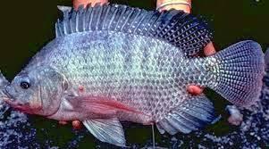 Penyakit Yang Sering Menyerang Ikan Nila Pada Usaha Budidaya Ikan Nila Dan Cara Mengobatinya