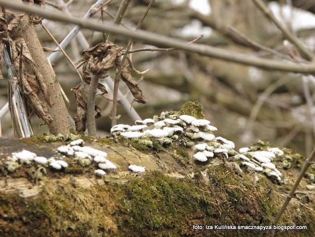 grzyby gatunkami , kosmatek , dwójlistek towarzyski , atlas grzybów , grzyby nadrzewne , nadrzewniaki , grzybki jak muszelki ,
