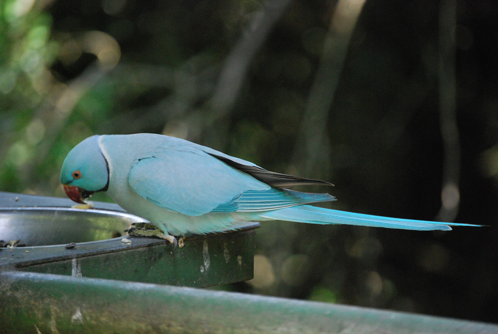 Footloose with Diana: Birds of Eden - parakeets and doves