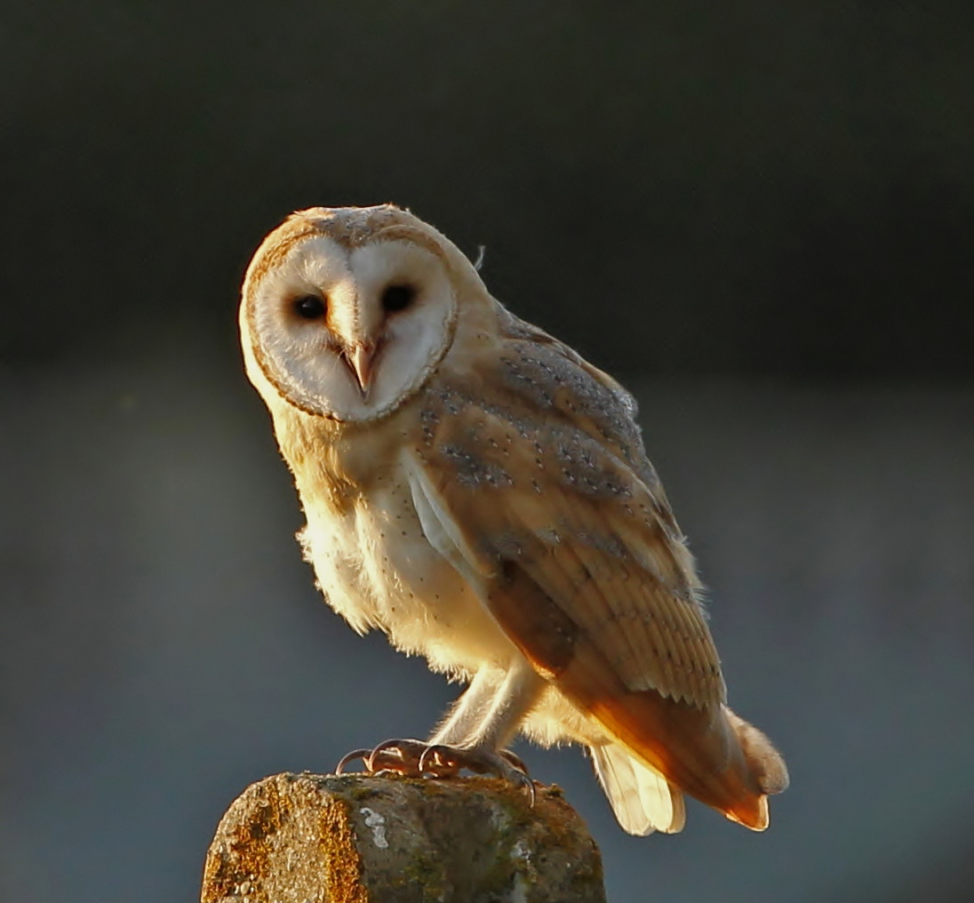 Barn Owl Diagram 1991 Honda Civic Ignition Switch Wiring The Food Web Images Frompo