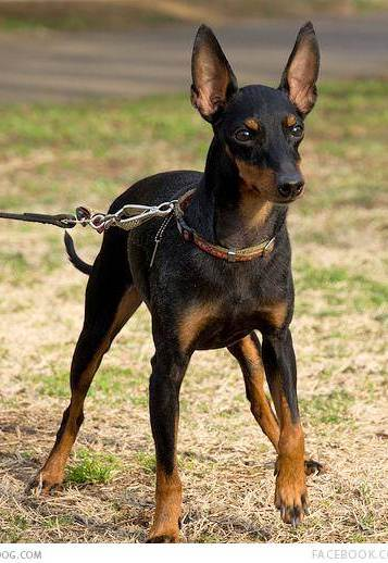 miniature manchester terrier about dog manchester terrier 6094
