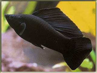 Black Molly Fish Pictures
