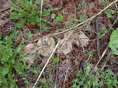 Grzyby 2017, grzyby wiosenne, grzyby na Orawie, smardzowanie 2017