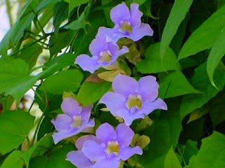 thunbergia-rajin-berbunga.jpg