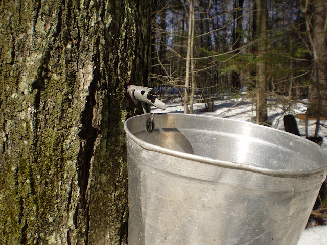 Maple tapping in the woods