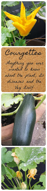 Courgettes/Zucchinies/Squash - how to grow them, how to trat for mildew/blight What causes all male flowers