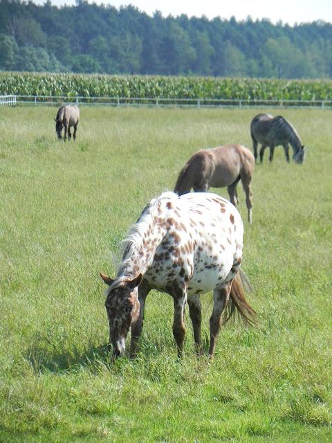 arabians horses Europe