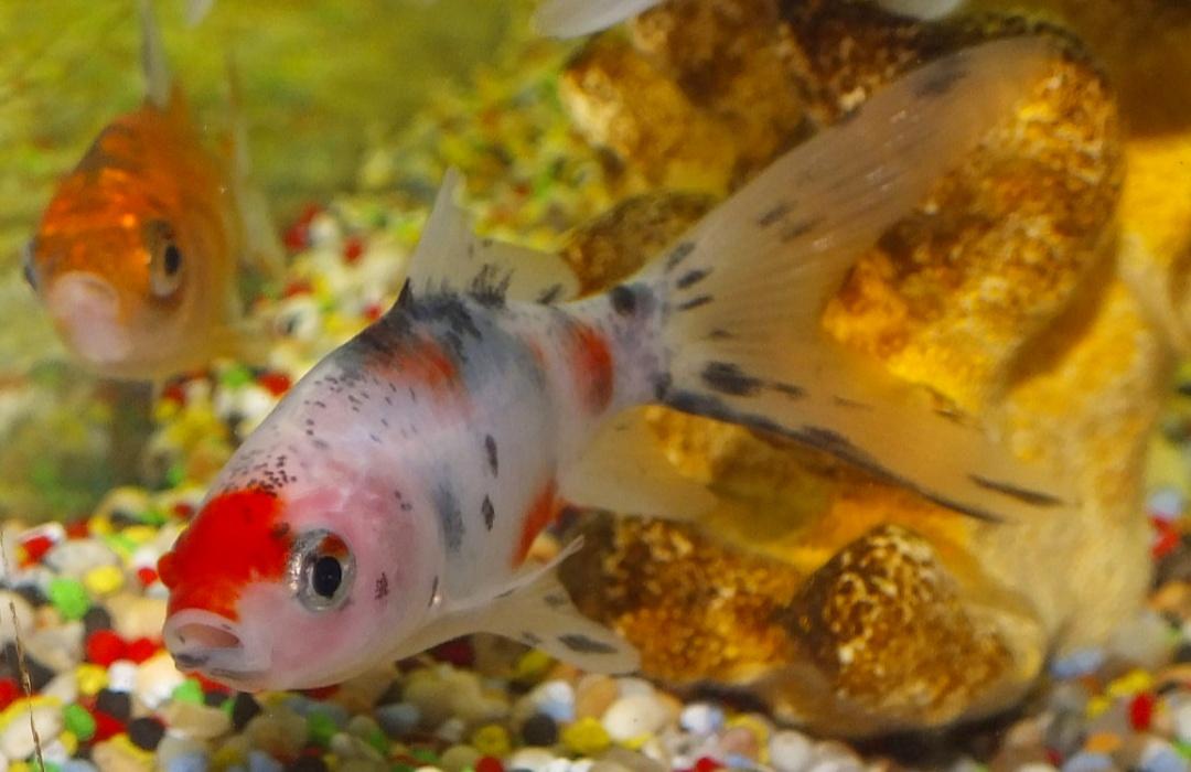 Jenis Ikan Mas Komet Tercantik Beserta Gambar dan Harganya ...