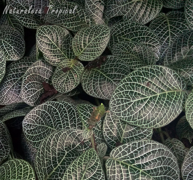Plantas del género Fittonia