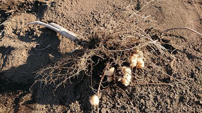 キクイモが根に付いている様子