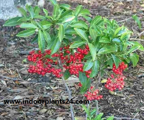 Ardisia crenata Myrsinaceae indoor plant image