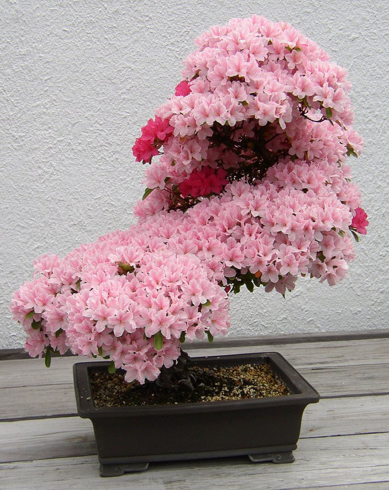Nag On The Lake Sublime Bonsai Azalea