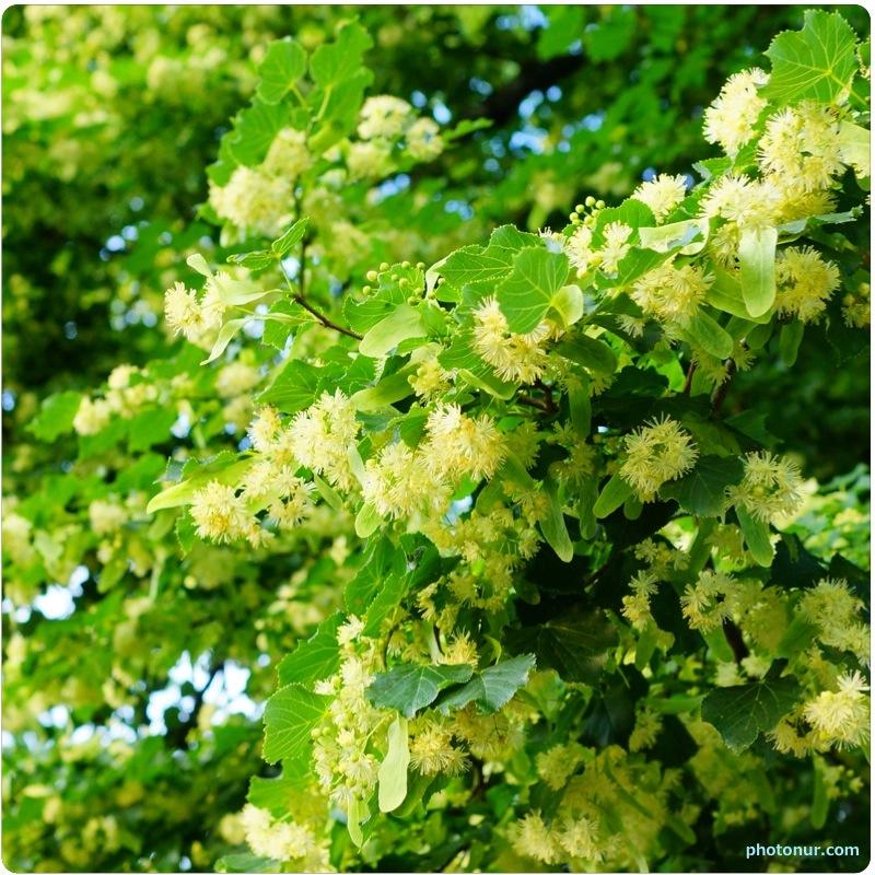 Shelagh Mcnally 39 S Blog My Sweet Sweet Tilia Tree
