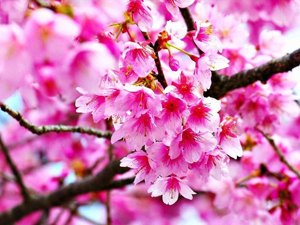 Gambar Wallpaper Bunga Sakura Jepang Cantik Kata Kata 2016