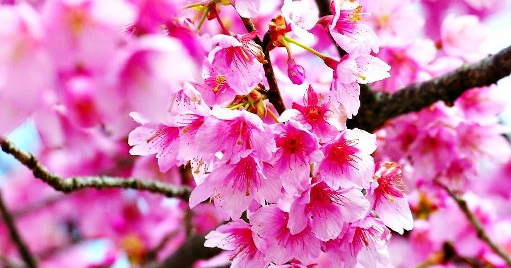 Inspirasi Paling Baru 46 Gambar Bunga Sakura Yang Cantik