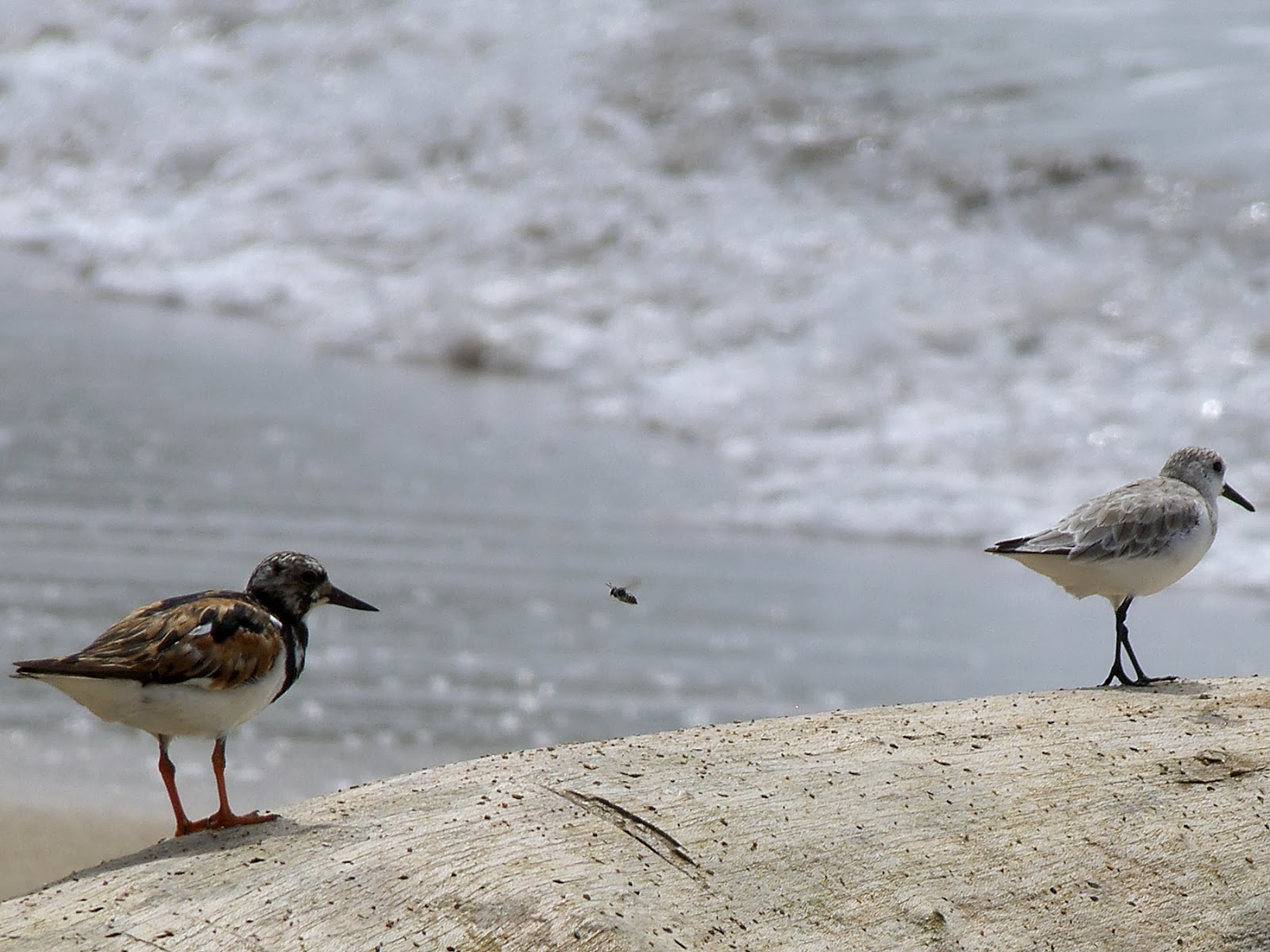 ruddy turnstone and sanderling migrating South