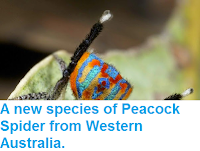 http://sciencythoughts.blogspot.co.uk/2015/03/a-new-species-of-peacock-spider-from.html