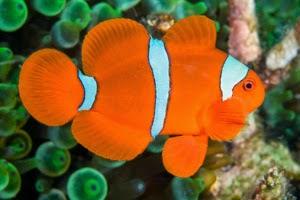 foto giru ikan badut lucu