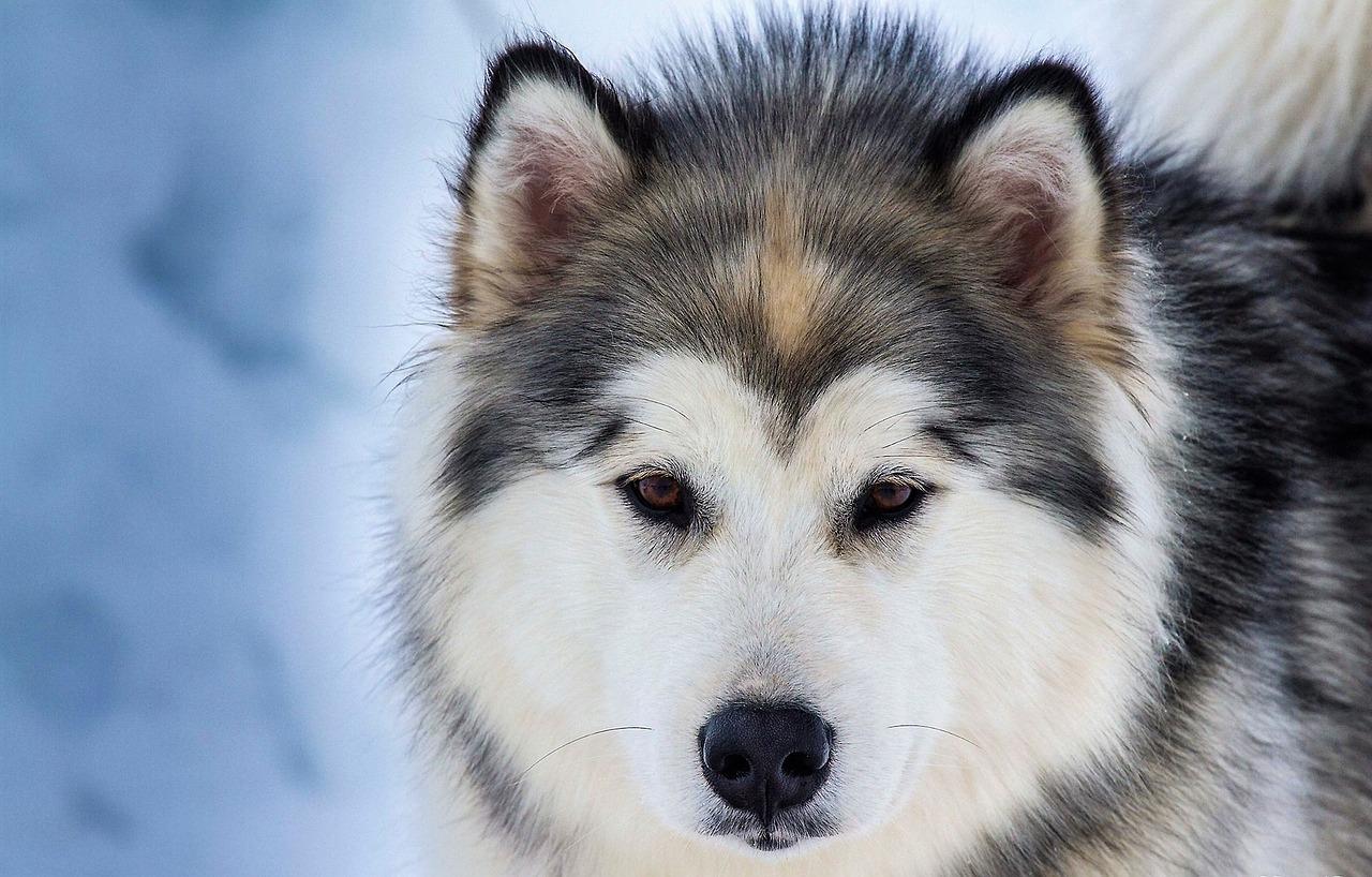 Những hình ảnh Chó Husky Sibir