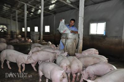 Ông Hoàng Văn Điền đổ cám cho đàn heo ăn tại trang trại của gia đình ở huyện Yên Mô (Ninh Bình).