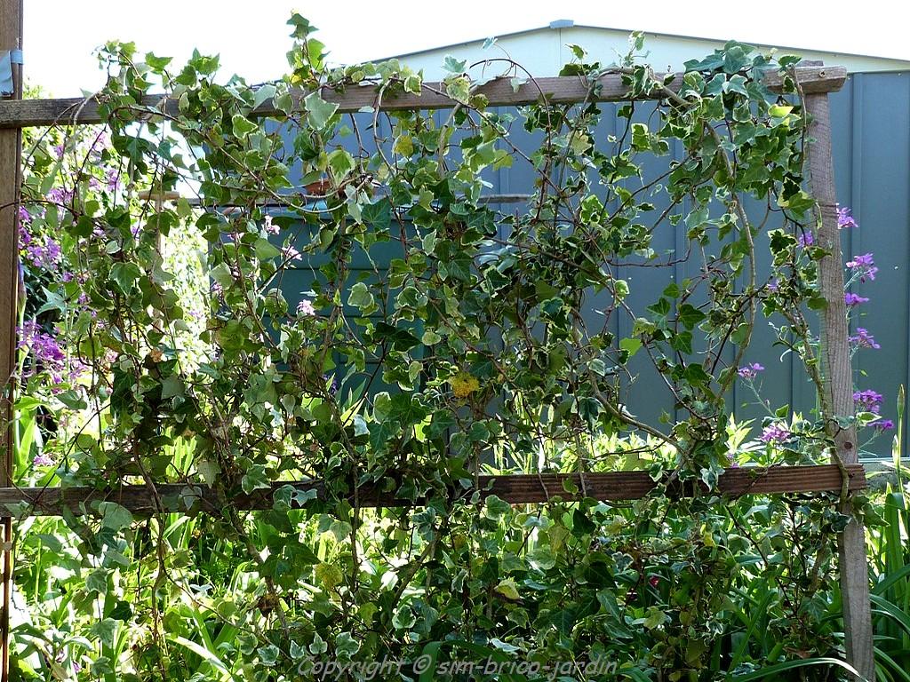 Brise Vue En Lierre sim-brico-jardin: le lierre panaché.