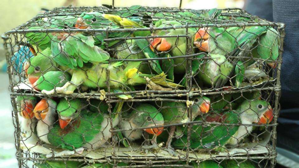 Over 500 Birds Stuffed In Tiny Cages Were Rescued