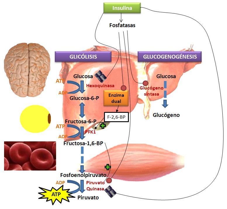 Datos desconocidos sobre metabolismo insulina hechos conocidos