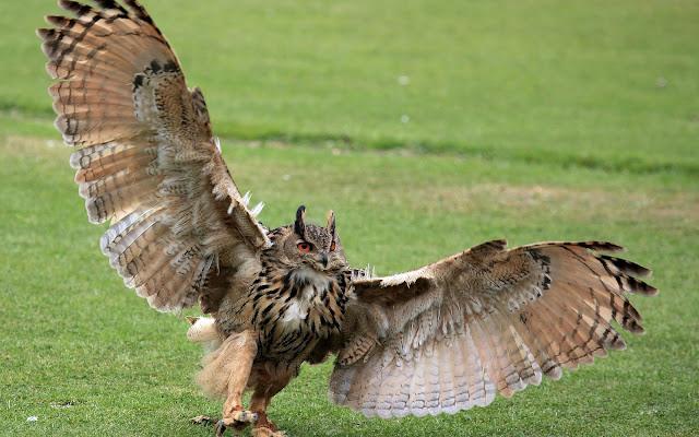 Foto van een uil met de vleugels gespreid