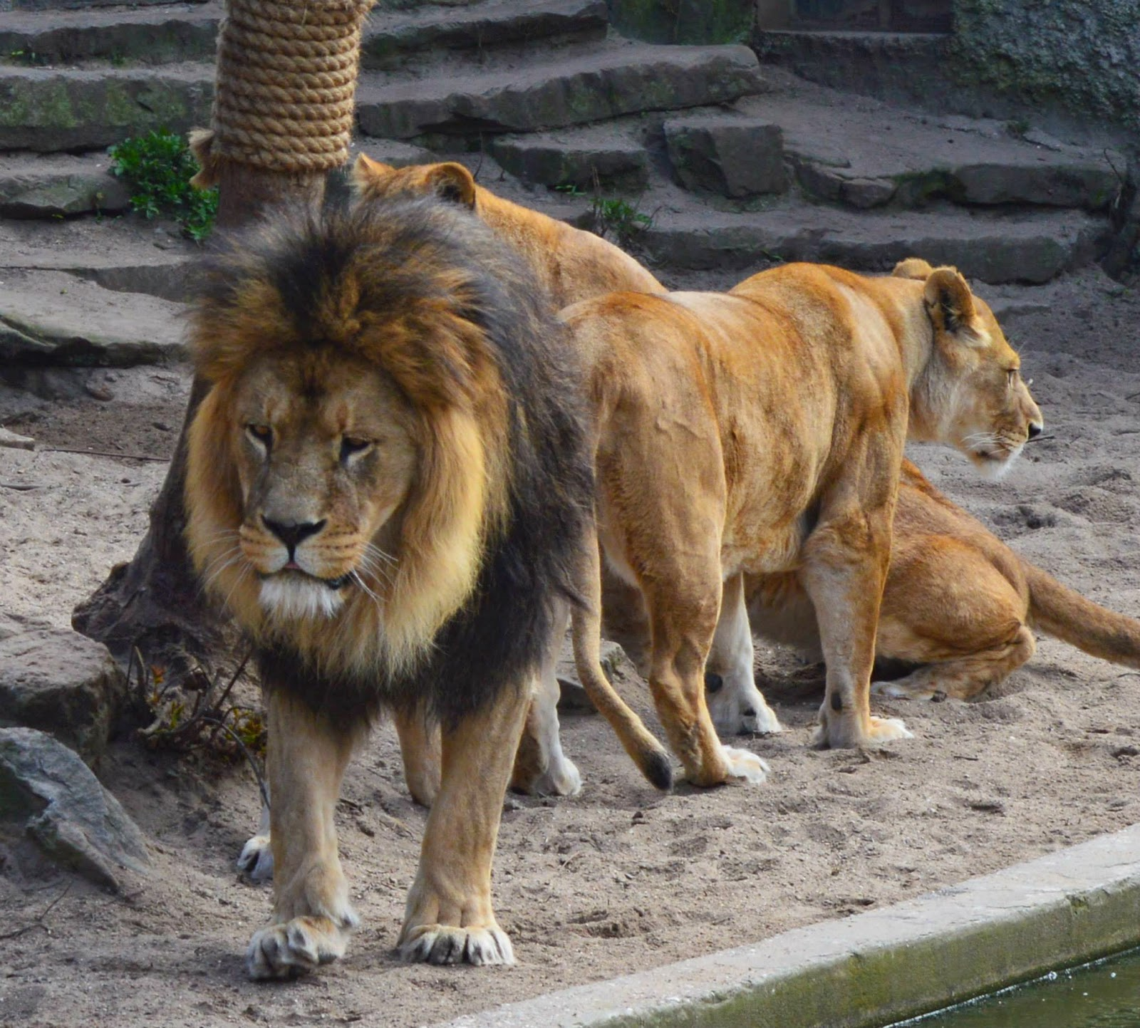 Lions at Amsterdam zoo