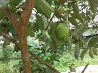 Buah Lezat Yang Sering Ku Makan Dan Ku Dapat Dari Kebun Pada Waktu Aku Masih Kecil