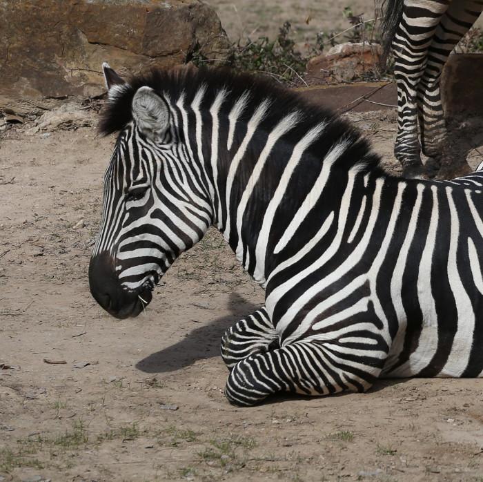 Zebra Head Model
