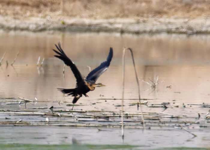تعرف على الطائر الافعوانى وبما يتميز ؟