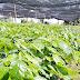 Denuncian Cafeticultores Robo de Cosechas y Plantaciones