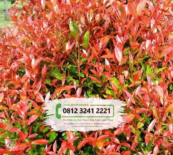 Jual Bibit & Benih Biji Bunga Pucuk Merah