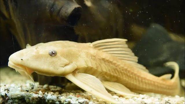 harga ikan sapu sapu albino