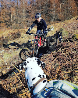 dalmatian dog watching woman mountain biking
