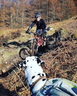 dalmatian dog watching woman mountain biking
