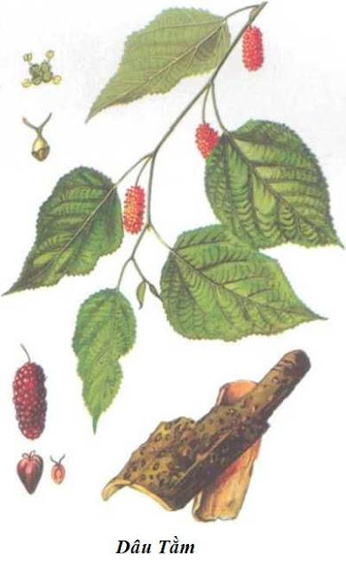 Hình ảnh CÂY DÂU - Morus alba - Nguyên liệu làm thuốc Chữa Ho Hen