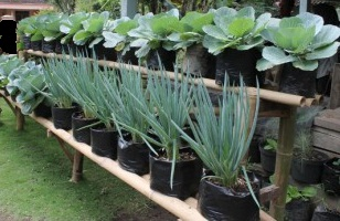 Easy Guide On How To Grow Organic Leek In The Pot or polybags