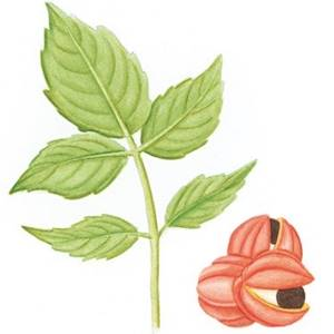 Guaraná, nome científico: Paulinia cupana