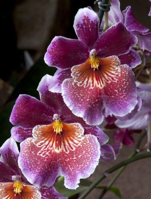Miltonia orkidesi