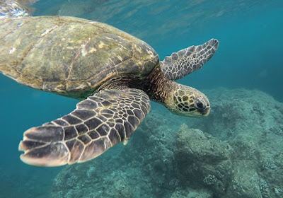 Turtle swimming in Hawaii