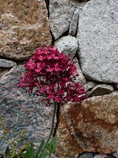 Centranthe rouge - Centranthus ruber - Valériane des jardins