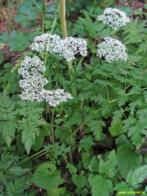 The medicinal part of the herb is a root, which is branched and very aromatic. The scent of the Burnet saxifrage root is reminiscent of the clove.