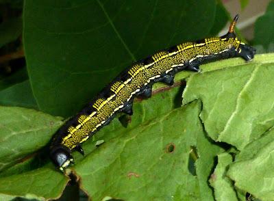 Hyles livornica caterpillar